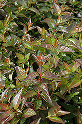 Edward Goucher Abelia (Abelia x grandiflora 'Edward Goucher') at Hillermann Nursery