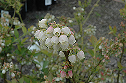 Duke Blueberry (Vaccinium corymbosum 'Duke') at Hillermann Nursery