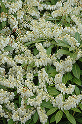 Cavatine Dwarf Japanese Pieris (Pieris japonica 'Cavatine') at Hillermann Nursery