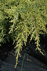 Gold Star Juniper (Juniperus chinensis 'Bakaurea') at Hillermann Nursery