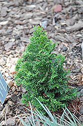 Little Ann Hinoki Falsecypress (Chamaecyparis obtusa 'Little Ann') at Hillermann Nursery