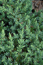 Blue Pacific Shore Juniper (Juniperus conferta 'Blue Pacific') at Hillermann Nursery