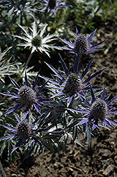 Big Blue Sea Holly (Eryngium 'Big Blue') at Hillermann Nursery