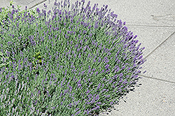 Munstead Lavender (Lavandula angustifolia 'Munstead') at Hillermann Nursery