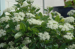 Winterthur Viburnum (Viburnum nudum 'Winterthur') at Hillermann Nursery