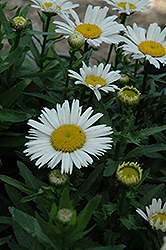 Snow Lady Shasta Daisy (Leucanthemum x superbum 'Snow Lady') at Hillermann Nursery