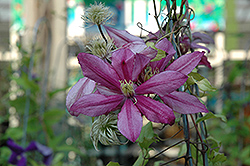Liberation Clematis (Clematis 'Liberation') at Hillermann Nursery
