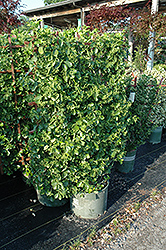 Manhattan Spreading Euonymus (Euonymus kiautschovicus 'Manhattan') at Hillermann Nursery