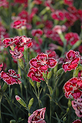 Cranberry Ice Pinks (Dianthus 'Cranberry Ice') at Hillermann Nursery