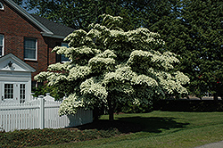 Chinese Dogwood (Cornus kousa) at Hillermann Nursery