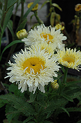Gold Rush Shasta Daisy (Leucanthemum x superbum 'Gold Rush') at Hillermann Nursery