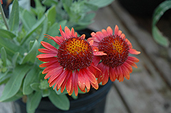 Arizona Red Shades Blanket Flower (Gaillardia x grandiflora 'Arizona Red Shades') at Hillermann Nursery