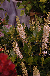 Sixteen Candles Summersweet (Clethra alnifolia 'Sixteen Candles') at Hillermann Nursery