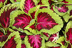 Kong Rose Coleus (Solenostemon scutellarioides 'Kong Rose') at Hillermann Nursery