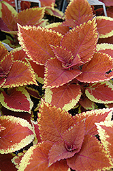 Trusty Rusty Coleus (Solenostemon scutellarioides 'Trusty Rusty') at Hillermann Nursery
