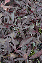Illusion Midnight Lace Sweet Potato Vine (Ipomoea batatas 'Illusion Midnight Lace') at Hillermann Nursery