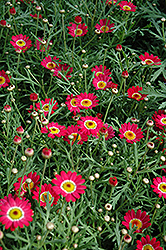 Madeira Cherry Red Marguerite Daisy (Argyranthemum frutescens 'Madeira Cherry Red') at Hillermann Nursery