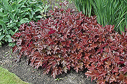 Chocolate Ruffles Coral Bells (Heuchera 'Chocolate Ruffles') at Hillermann Nursery