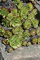 Hens And Chicks (Sempervivum tectorum) at Hillermann Nursery