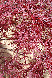 Red Dragon Japanese Maple (Acer palmatum 'Red Dragon') at Hillermann Nursery