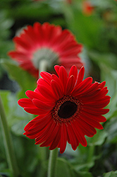 Red Gerbera Daisy (Gerbera 'Red') at Hillermann Nursery