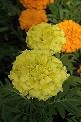 Taishan Yellow Marigold (Tagetes erecta 'Taishan Yellow') at Hillermann Nursery