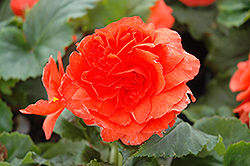 Nonstop® Salmon Begonia (Begonia 'Nonstop Salmon') at Hillermann Nursery