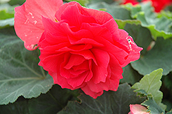 Nonstop® Bright Red Begonia (Begonia 'Nonstop Bright Red') at Hillermann Nursery