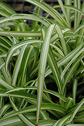 Spider Plant (Chlorophytum comosum) at Hillermann Nursery