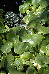 Water Hyacinth (Eichhornia crassipes) at Hillermann Nursery