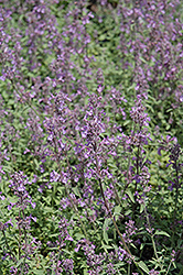 Little Trudy Catmint (Nepeta 'Psfike') at Hillermann Nursery