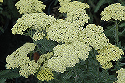 Anthea Yarrow (Achillea 'Anthea') at Hillermann Nursery
