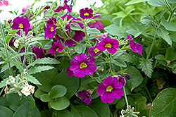 Superbells® Blue Calibrachoa (Calibrachoa 'Superbells Blue') at Hillermann Nursery