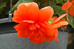 Nonstop® Orange Begonia (Begonia 'Nonstop Orange') at Hillermann Nursery