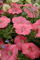 Supertunia® Bermuda Beach Petunia (Petunia 'Supertunia Bermuda Beach') at Hillermann Nursery