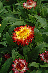 Dreamtime Jumbo Red Ember Strawflower (Bracteantha bracteata 'Dreamtime Jumbo Red Ember') at Hillermann Nursery