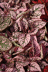 Splash Select Pink Polka Dot Plant (Hypoestes phyllostachya 'Splash Select Pink') at Hillermann Nursery
