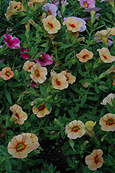 Can-Can® Apricot Calibrachoa (Calibrachoa 'Can-Can Apricot') at Hillermann Nursery