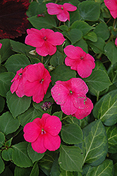 Dazzler Rose Impatiens (Impatiens 'Dazzler Rose') at Hillermann Nursery