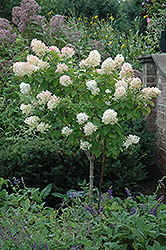 Limelight Hydrangea (tree form) (Hydrangea paniculata 'Limelight (tree form)') at Hillermann Nursery