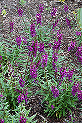 Serenita Purple Angelonia (Angelonia angustifolia 'Serenita Purple') at Hillermann Nursery