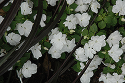 Dazzler White Impatiens (Impatiens 'Dazzler White') at Hillermann Nursery