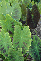 Illustris Elephant Ear (Colocasia esculenta 'Illustris') at Hillermann Nursery