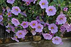 Superbells® Miss Lilac Calibrachoa (Calibrachoa 'Superbells Miss Lilac') at Hillermann Nursery