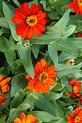 Profusion Fire Zinnia (Zinnia 'Profusion Fire') at Hillermann Nursery