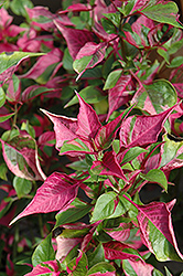 Tricolor Alternanthera (Alternanthera 'Tricolor') at Hillermann Nursery