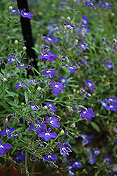 Hot Springs™ Dark Blue Lobelia (Lobelia 'Hot Springs Dark Blue') at Hillermann Nursery