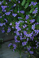 Whirlwind® Blue Fan Flower (Scaevola aemula 'Whirlwind Blue') at Hillermann Nursery