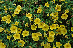 Cabaret® Deep Yellow Calibrachoa (Calibrachoa 'Cabaret Deep Yellow') at Hillermann Nursery