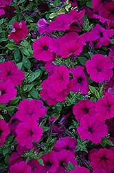 Wave Purple Petunia (Petunia 'Wave Purple') at Hillermann Nursery